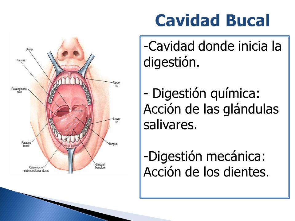 Cavidad Bucal -Cavidad donde inicia la digestión. - Digestión química: Acción de las glándulas salivares. -Digestión mecánica: Acción de los dientes.