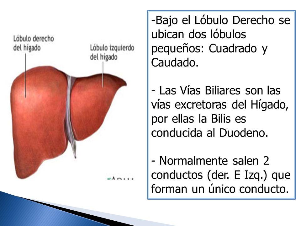 -Bajo el Lóbulo Derecho se ubican dos lóbulos pequeños: Cuadrado y Caudado. - Las Vías Biliares son las vías excretoras del Hígado, por ellas la Bilis