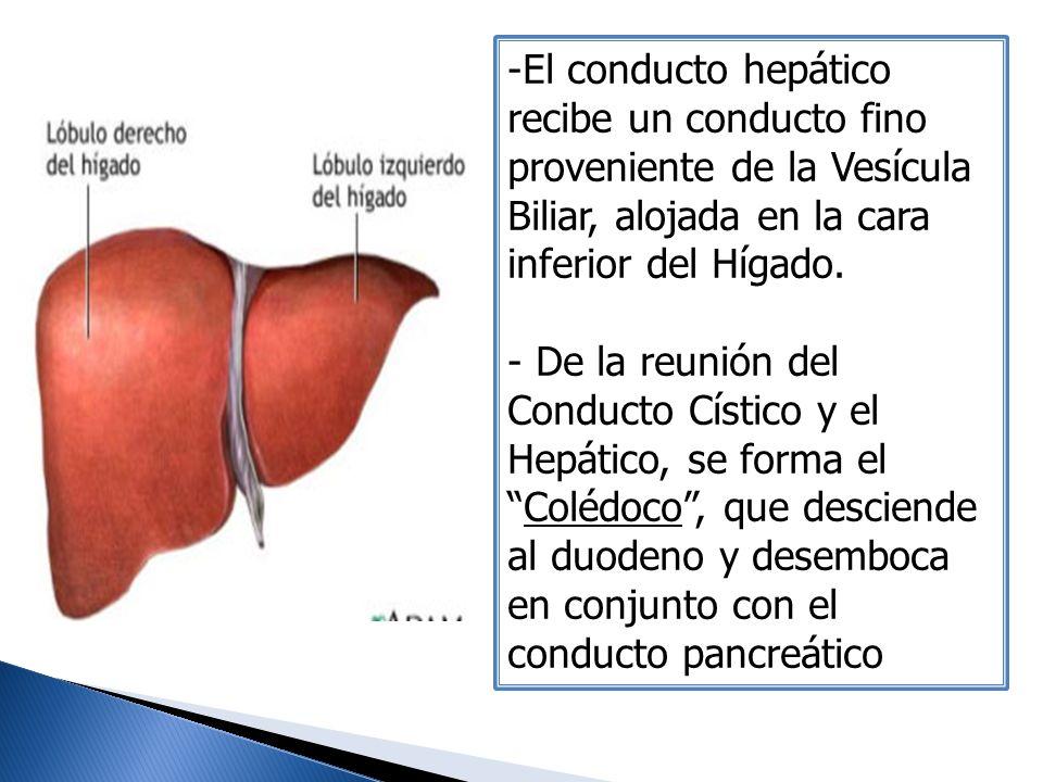 -El conducto hepático recibe un conducto fino proveniente de la Vesícula Biliar, alojada en la cara inferior del Hígado. - De la reunión del Conducto