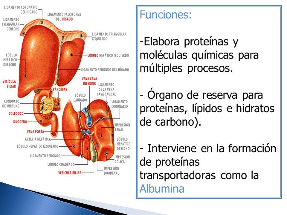 Funciones: -Elabora proteínas y moléculas químicas para múltiples procesos. - Órgano de reserva para proteínas, lípidos e hidratos de carbono). - Inte
