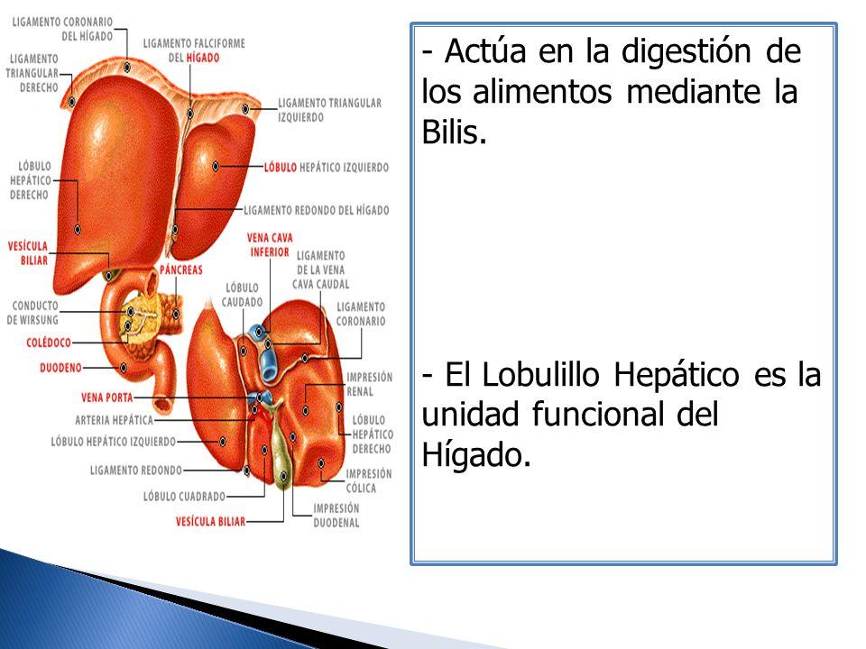 - Actúa en la digestión de los alimentos mediante la Bilis. - El Lobulillo Hepático es la unidad funcional del Hígado.