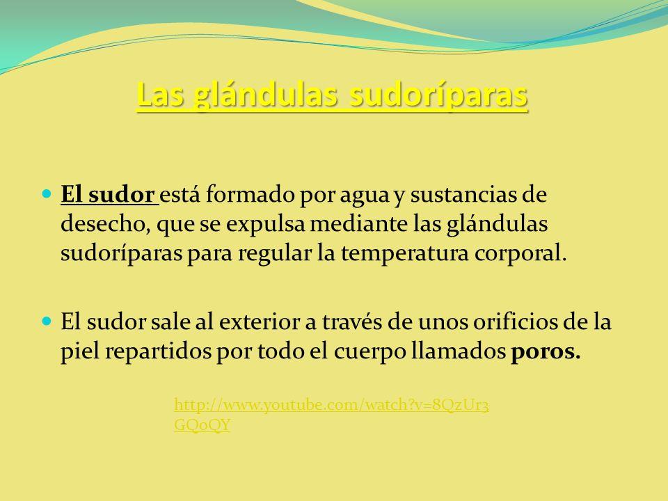 Las glándulas sudoríparas El sudor está formado por agua y sustancias de desecho, que se expulsa mediante las glándulas sudoríparas para regular la te