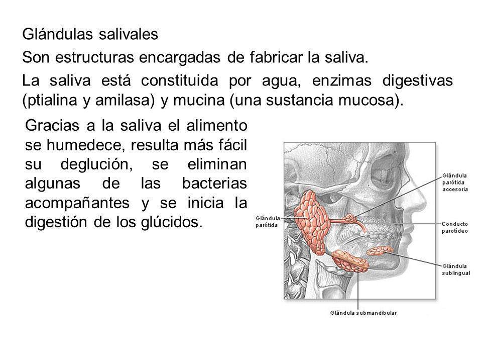 Glándulas salivales Son estructuras encargadas de fabricar la saliva. La saliva está constituida por agua, enzimas digestivas (ptialina y amilasa) y m