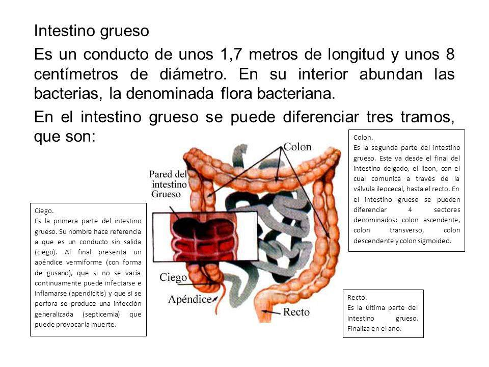 Intestino grueso Es un conducto de unos 1,7 metros de longitud y unos 8 centímetros de diámetro. En su interior abundan las bacterias, la denominada f