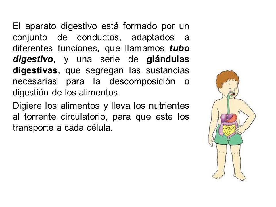 El aparato digestivo está formado por un conjunto de conductos, adaptados a diferentes funciones, que llamamos tubo digestivo, y una serie de glándula