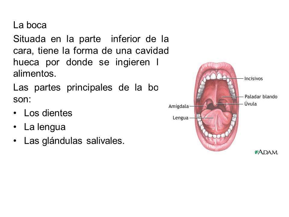 La boca Situada en la parte inferior de la cara, tiene la forma de una cavidad hueca por donde se ingieren los alimentos. Las partes principales de la