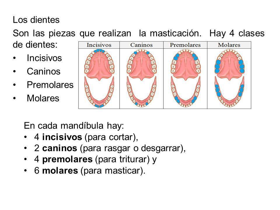 Los dientes Son las piezas que realizan la masticación. Hay 4 clases de dientes: Incisivos Caninos Premolares Molares En cada mandíbula hay: 4 incisiv