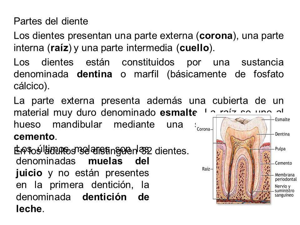 Partes del diente Los dientes presentan una parte externa (corona), una parte interna (raíz) y una parte intermedia (cuello). Los dientes están consti