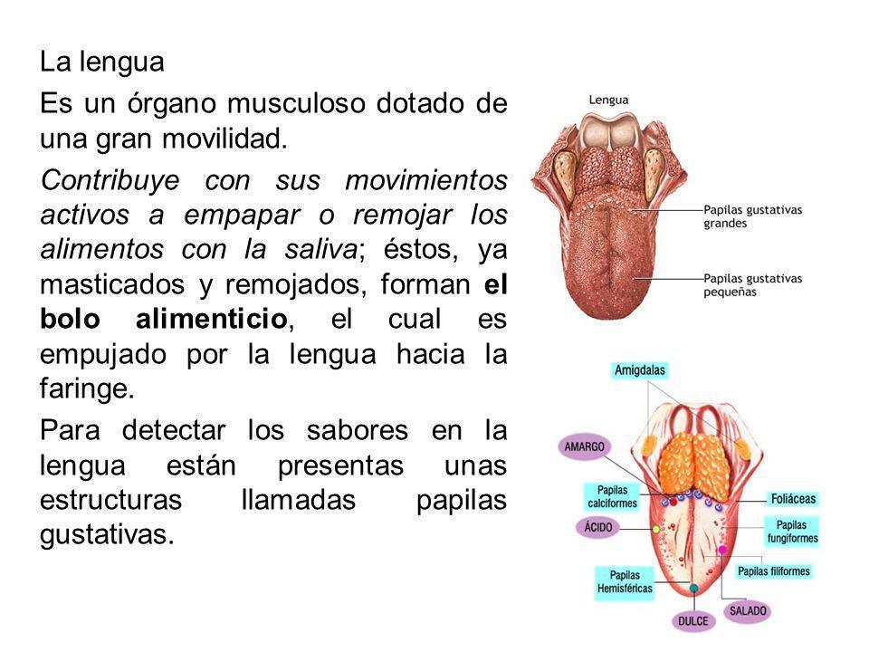 La lengua Es un órgano musculoso dotado de una gran movilidad. Contribuye con sus movimientos activos a empapar o remojar los alimentos con la saliva;