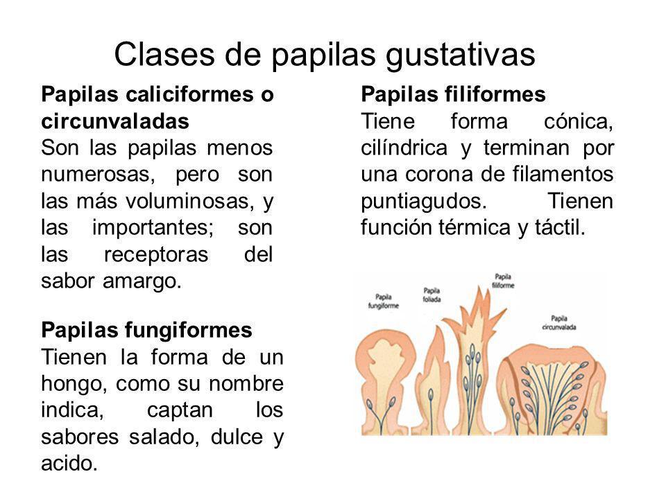Clases de papilas gustativas Papilas filiformes Tiene forma cónica, cilíndrica y terminan por una corona de filamentos puntiagudos. Tienen función tér