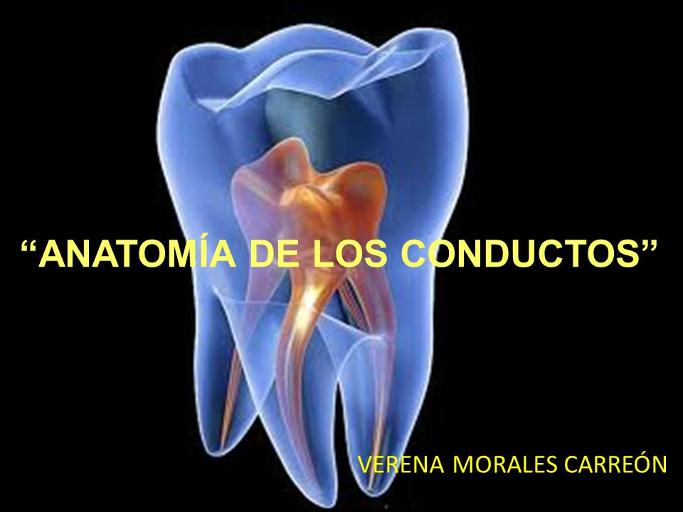 El centro del foramen apical no esta siempre localizado en el apice anatómico del diente, puede estar localizado hacia un lado del apice anatómico y llegar a alcanzar distancias de hasta 3 mm en un 50 – 98 % de las raíces.