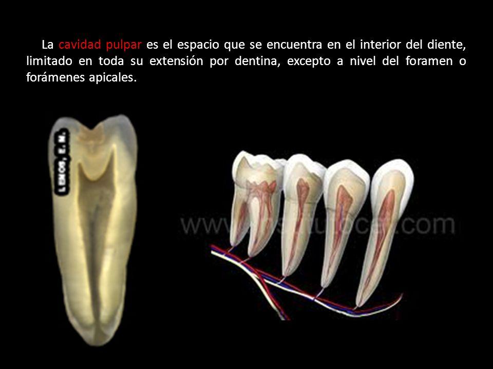 La cavidad pulpar es el espacio que se encuentra en el interior del diente, limitado en toda su extensión por dentina, excepto a nivel del foramen o f