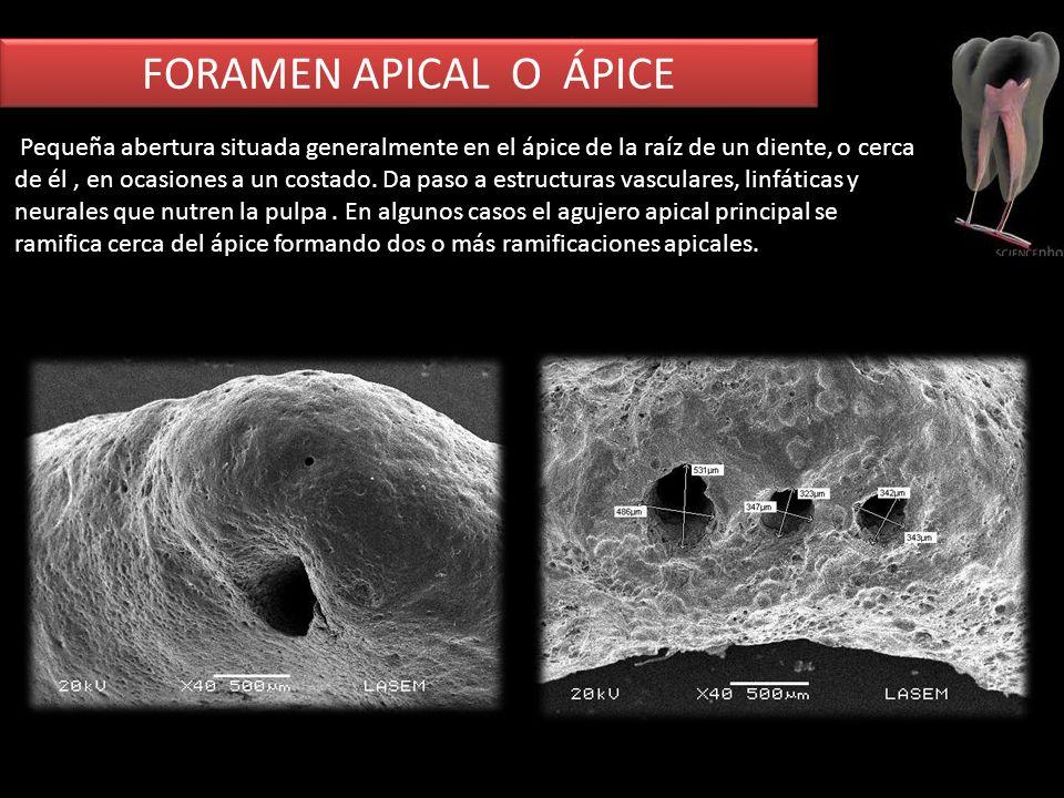 FORAMEN APICAL O ÁPICE Pequeña abertura situada generalmente en el ápice de la raíz de un diente, o cerca de él, en ocasiones a un costado. Da paso a