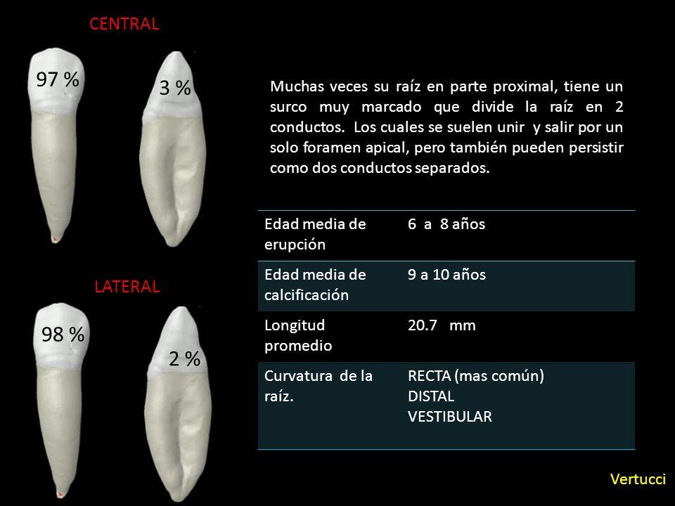 97 % Edad media de erupción 6 a 8 años Edad media de calcificación 9 a 10 años Longitud promedio 20.7 mm Curvatura de la raíz. RECTA (mas común) DISTA