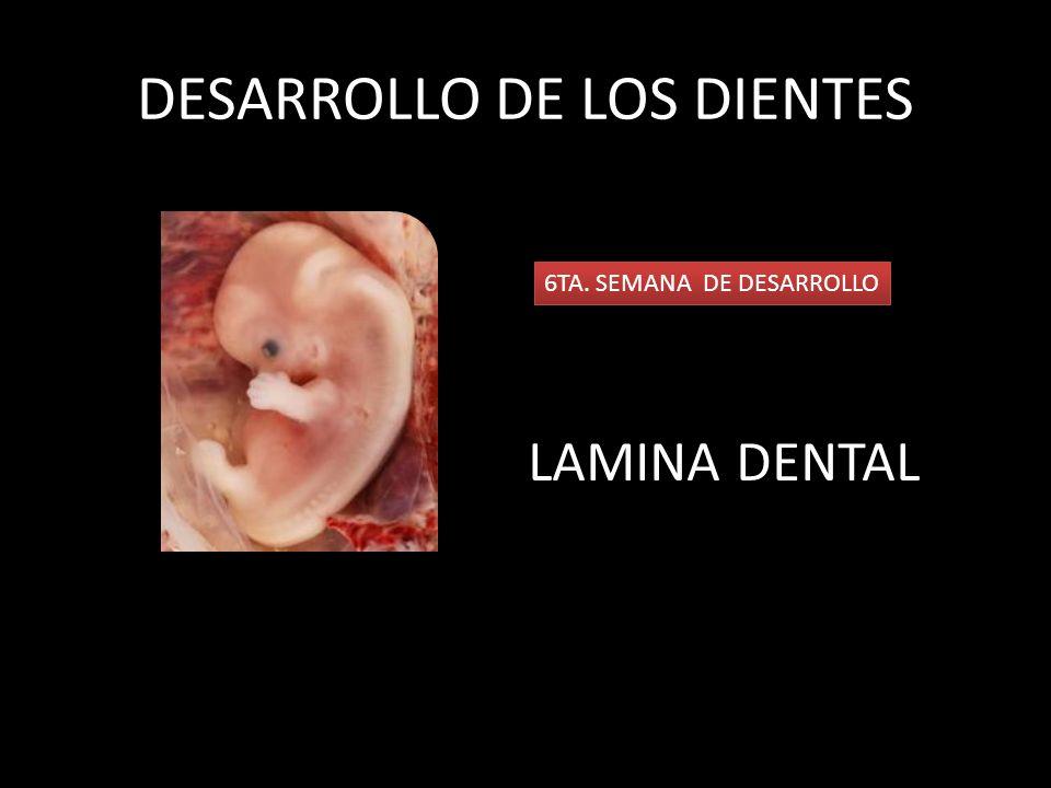 En la lámina dental se originan invaginaciones las cuales darán origen a los primordios de los componentes ectodérmicos de los dientes.