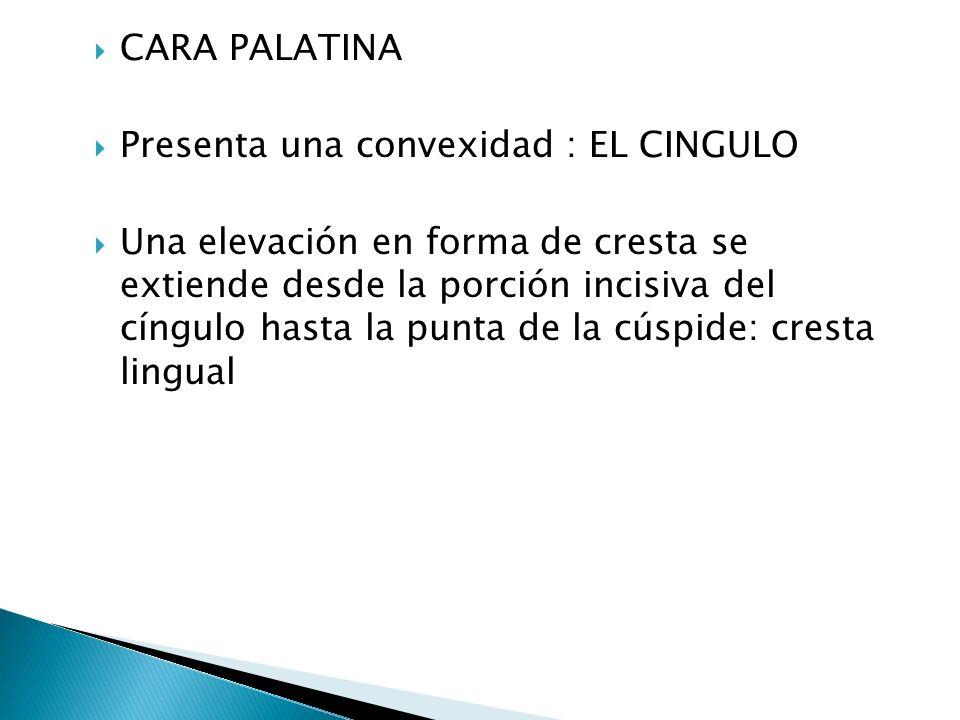 CARA PALATINA Presenta una convexidad : EL CINGULO Una elevación en forma de cresta se extiende desde la porción incisiva del cíngulo hasta la punta de la cúspide: cresta lingual