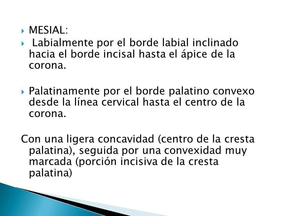 Borde labial y palatino convergen en sentido incisivo desde sus respectivas alturas hacia el ápice cuspideo.