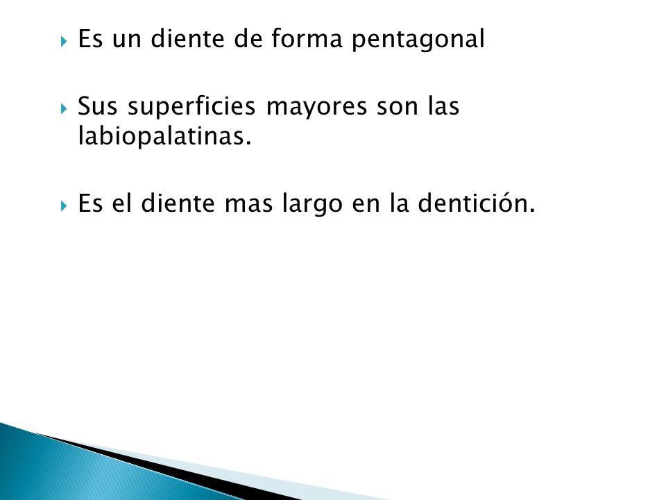 4 LOBULOS MESIOLABIAL CENTROLABIAL DISTOLABIAL LOBULOS LINGUAL (LOCALIZADO EN EL TERCIO MEDIO FORMADO POR EL CINGULO).