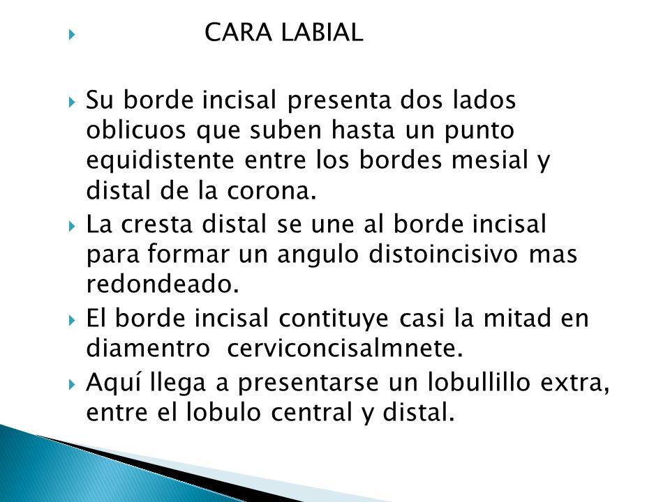 Borde mesial ligeramente convexo Borde distal muy convexo Presenta periquimatos más marcados de todos los organos dentarios.