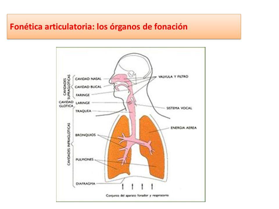 Fonética articulatoria: los órganos supraglóticos