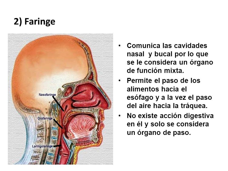 2) Faringe Comunica las cavidades nasal y bucal por lo que se le considera un órgano de función mixta. Permite el paso de los alimentos hacia el esófa