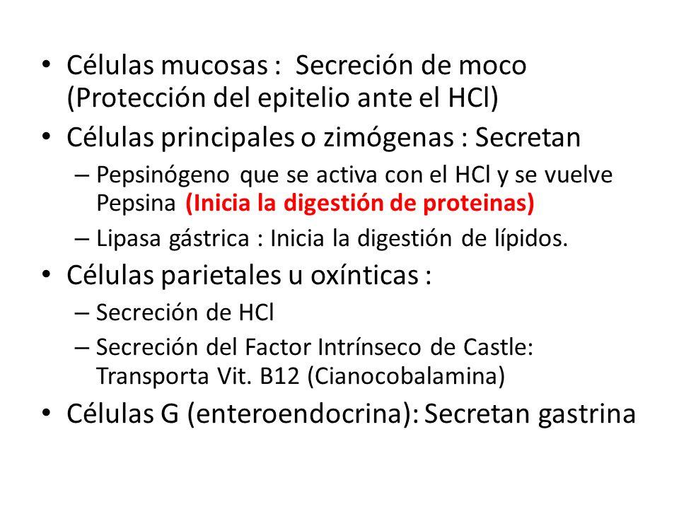 Células mucosas : Secreción de moco (Protección del epitelio ante el HCl) Células principales o zimógenas : Secretan – Pepsinógeno que se activa con e