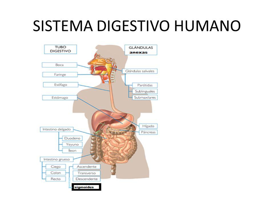 Importancia Gracias al sistema digestivo los nutrientes presentes en los alimentos deben ser simplificados para que puedan ser absorbidos vía intestinal y posteriormente incorporarlos a las diferentes células del organismo.