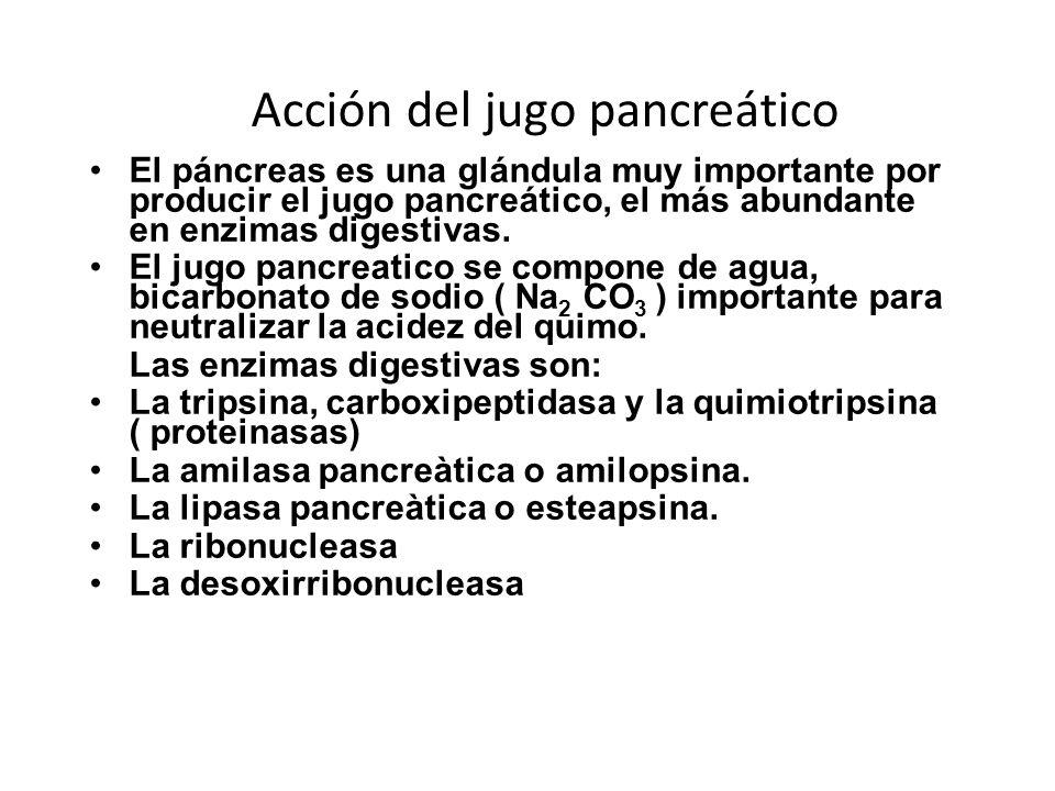 Acción del jugo pancreático El páncreas es una glándula muy importante por producir el jugo pancreático, el más abundante en enzimas digestivas. El ju