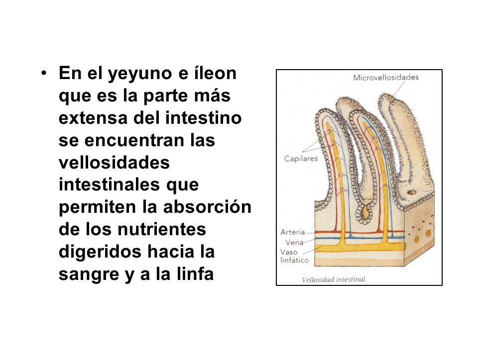 En el yeyuno e íleon que es la parte más extensa del intestino se encuentran las vellosidades intestinales que permiten la absorción de los nutrientes