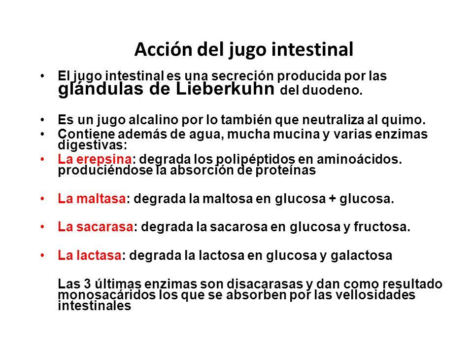 Acción del jugo intestinal El jugo intestinal es una secreción producida por las glándulas de Lieberkuhn del duodeno. Es un jugo alcalino por lo tambi