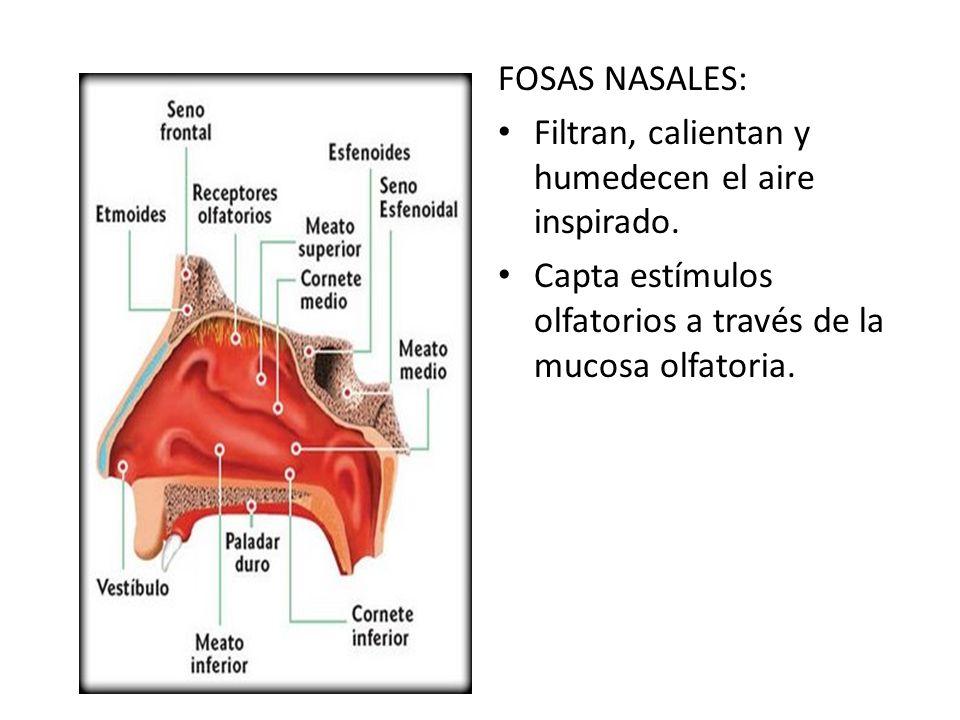 FOSAS NASALES: Filtran, calientan y humedecen el aire inspirado. Capta estímulos olfatorios a través de la mucosa olfatoria.