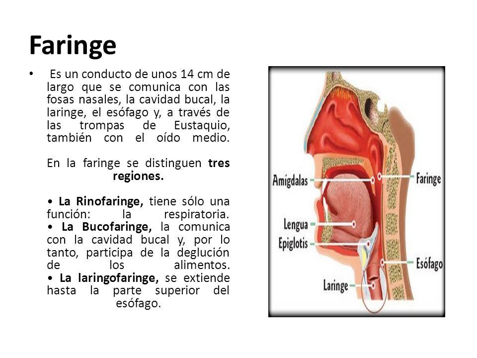 Faringe Es un conducto de unos 14 cm de largo que se comunica con las fosas nasales, la cavidad bucal, la laringe, el esófago y, a través de las tromp