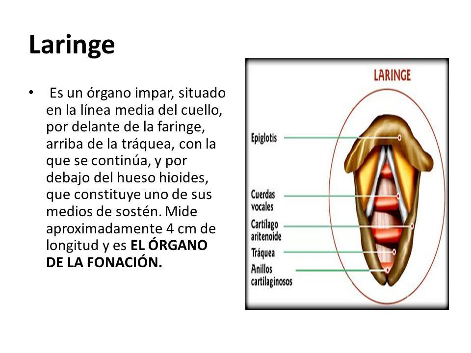 Laringe Es un órgano impar, situado en la línea media del cuello, por delante de la faringe, arriba de la tráquea, con la que se continúa, y por debaj