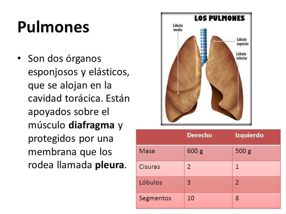 Pulmones Son dos órganos esponjosos y elásticos, que se alojan en la cavidad torácica. Están apoyados sobre el músculo diafragma y protegidos por una