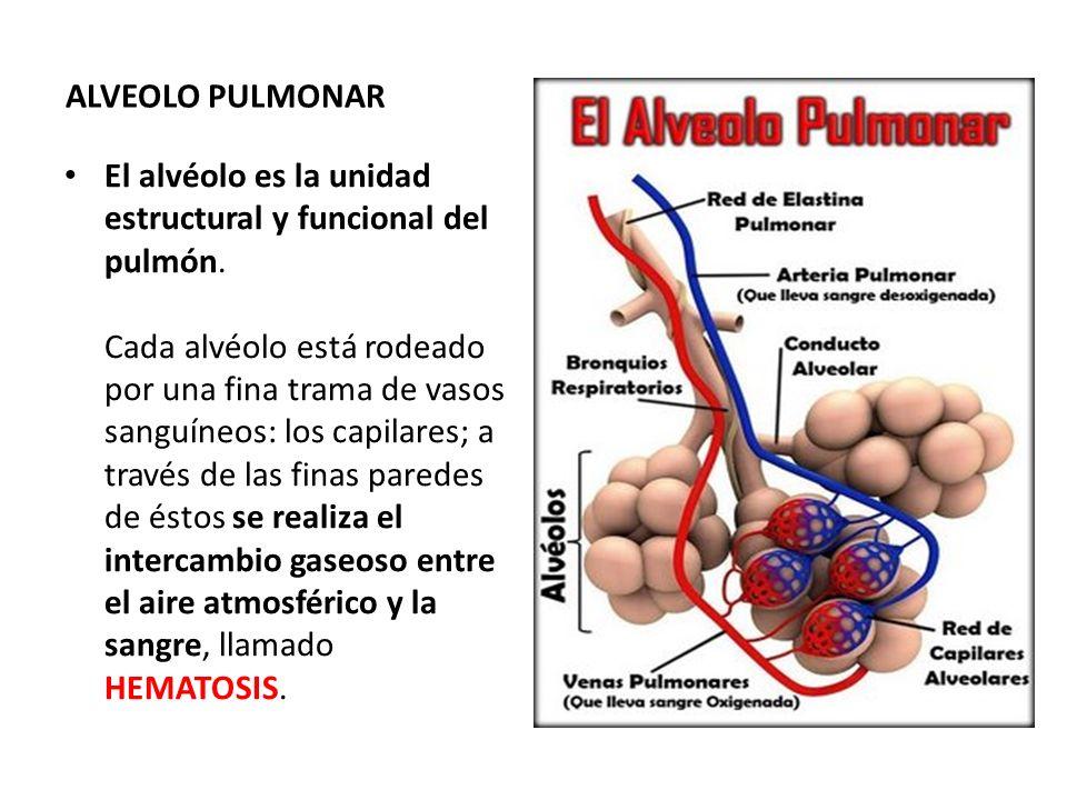 ALVEOLO PULMONAR El alvéolo es la unidad estructural y funcional del pulmón. Cada alvéolo está rodeado por una fina trama de vasos sanguíneos: los cap