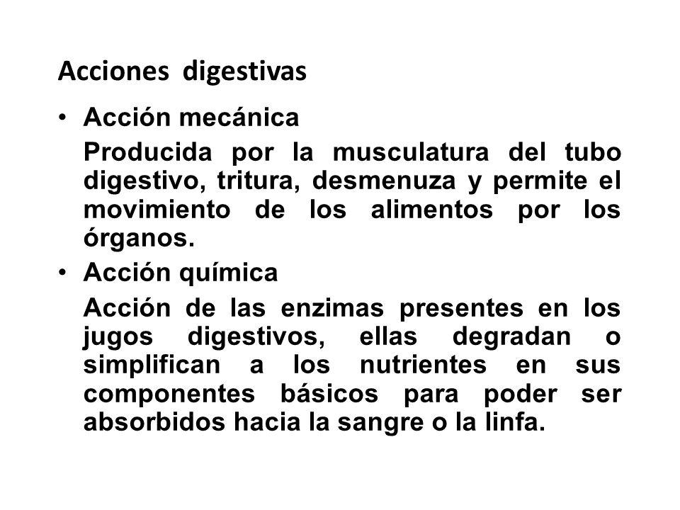 Acciones digestivas Acción mecánica Producida por la musculatura del tubo digestivo, tritura, desmenuza y permite el movimiento de los alimentos por l
