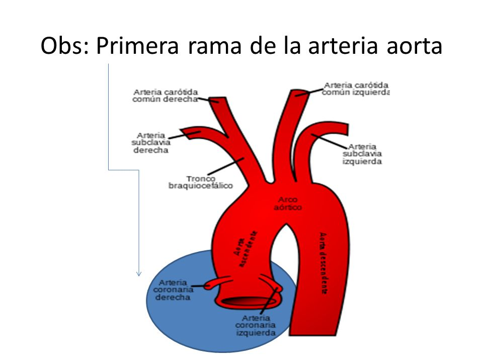 Obs: Primera rama de la arteria aorta