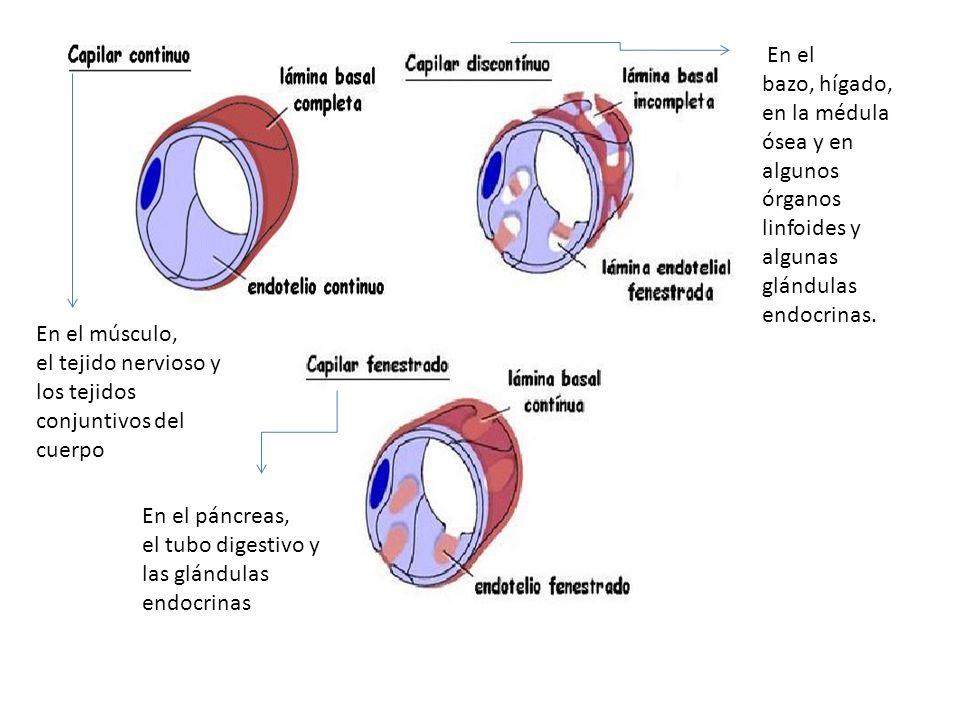 En el músculo, el tejido nervioso y los tejidos conjuntivos del cuerpo En el bazo, hígado, en la médula ósea y en algunos órganos linfoides y algunas