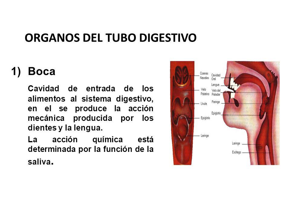 ORGANOS DEL TUBO DIGESTIVO 1)Boca Cavidad de entrada de los alimentos al sistema digestivo, en el se produce la acción mecánica producida por los dien