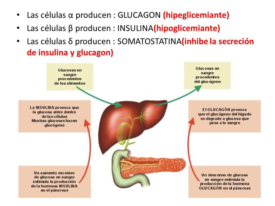 Las células α producen : GLUCAGON (hipeglicemiante) Las células β producen : INSULINA(hipoglicemiante) Las células δ producen : SOMATOSTATINA(inhibe l