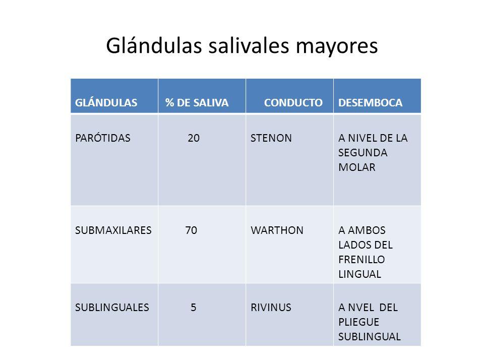 Glándulas salivales mayores GLÁNDULAS % DE SALIVA CONDUCTODESEMBOCA PARÓTIDAS 20STENONA NIVEL DE LA SEGUNDA MOLAR SUBMAXILARES 70WARTHONA AMBOS LADOS