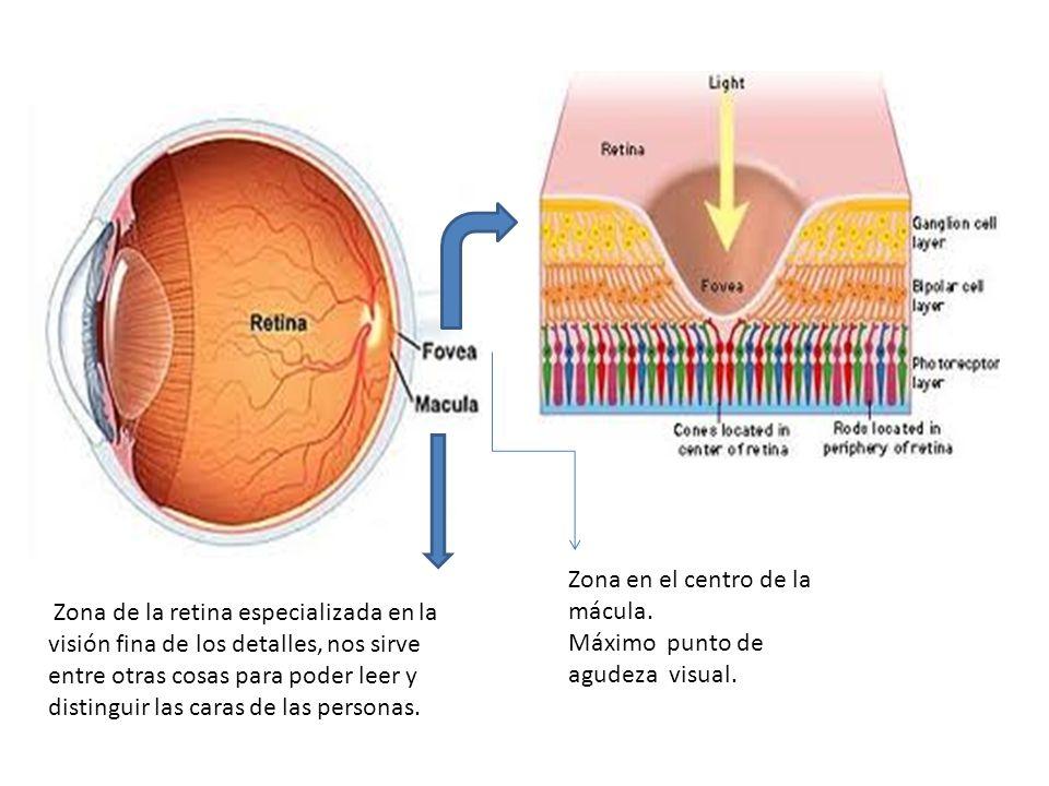 Zona en el centro de la mácula. Máximo punto de agudeza visual. Zona de la retina especializada en la visión fina de los detalles, nos sirve entre otr