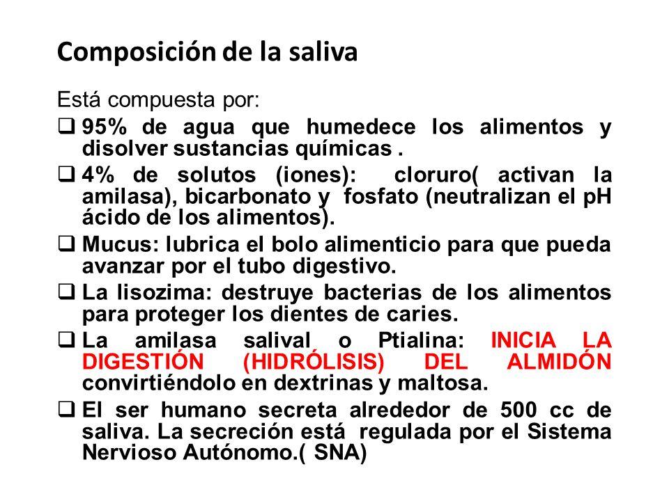 Composición de la saliva Está compuesta por: 95% de agua que humedece los alimentos y disolver sustancias químicas. 4% de solutos (iones): cloruro( ac