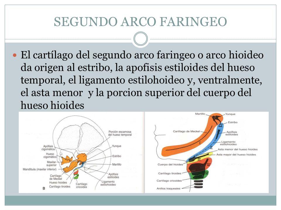 SEGUNDO ARCO FARINGEO El cartílago del segundo arco faringeo o arco hioideo da origen al estribo, la apofisis estiloides del hueso temporal, el ligame