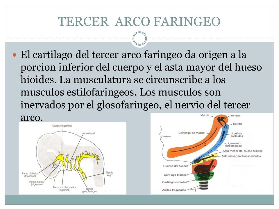 TERCER ARCO FARINGEO El cartilago del tercer arco faringeo da origen a la porcion inferior del cuerpo y el asta mayor del hueso hioides. La musculatur