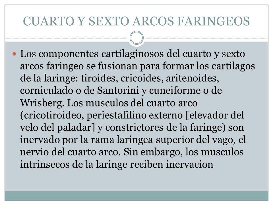 CUARTO Y SEXTO ARCOS FARINGEOS Los componentes cartilaginosos del cuarto y sexto arcos faringeo se fusionan para formar los cartilagos de la laringe: