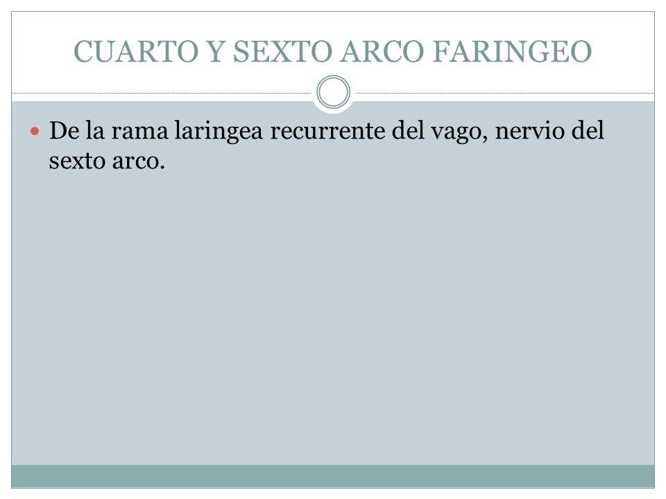 CUARTO Y SEXTO ARCO FARINGEO De la rama laringea recurrente del vago, nervio del sexto arco.