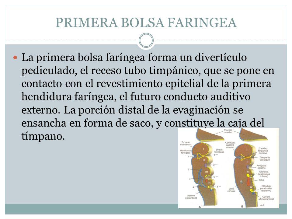 PRIMERA BOLSA FARINGEA La primera bolsa faríngea forma un divertículo pediculado, el receso tubo timpánico, que se pone en contacto con el revestimien