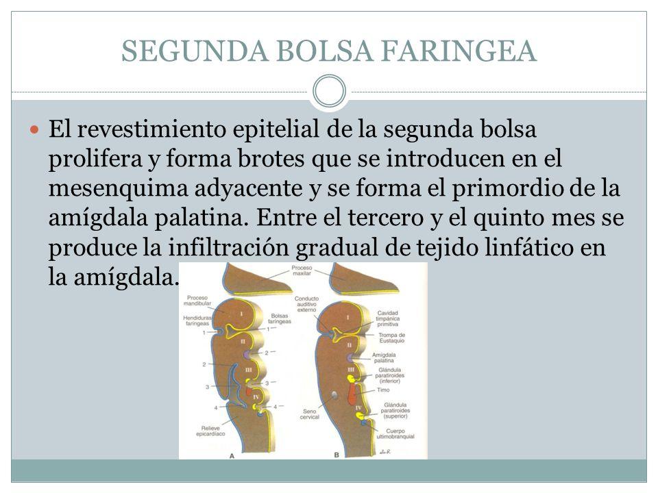 SEGUNDA BOLSA FARINGEA El revestimiento epitelial de la segunda bolsa prolifera y forma brotes que se introducen en el mesenquima adyacente y se forma
