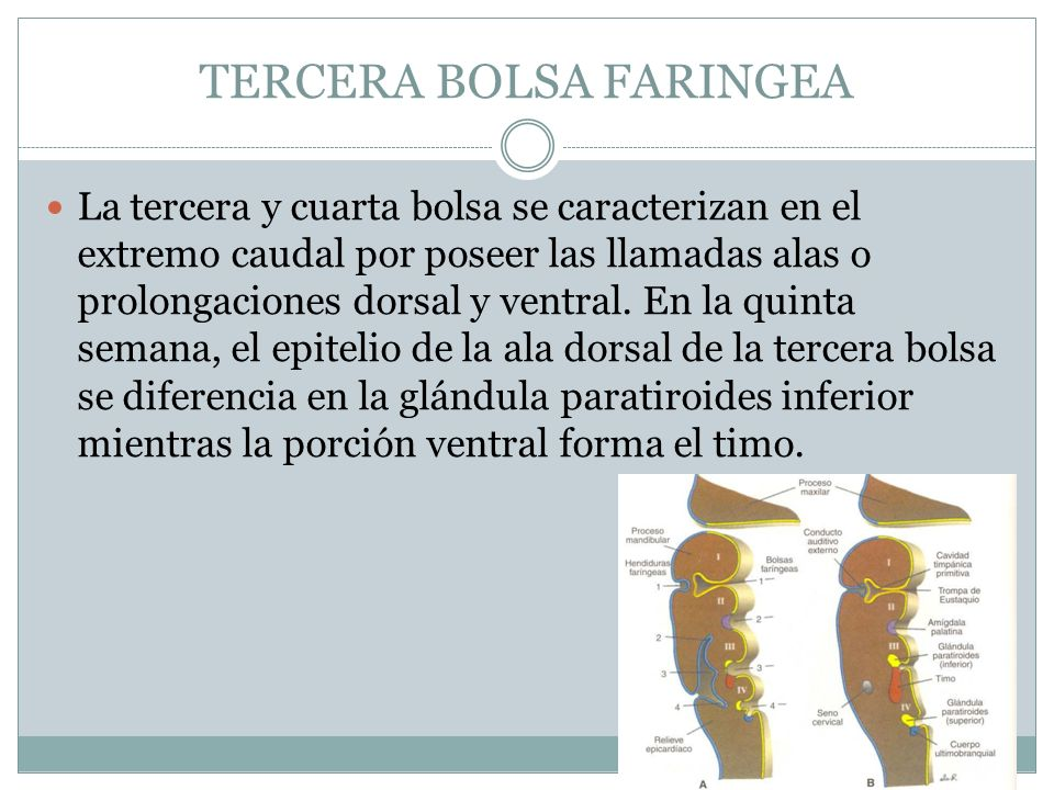 TERCERA BOLSA FARINGEA La tercera y cuarta bolsa se caracterizan en el extremo caudal por poseer las llamadas alas o prolongaciones dorsal y ventral.